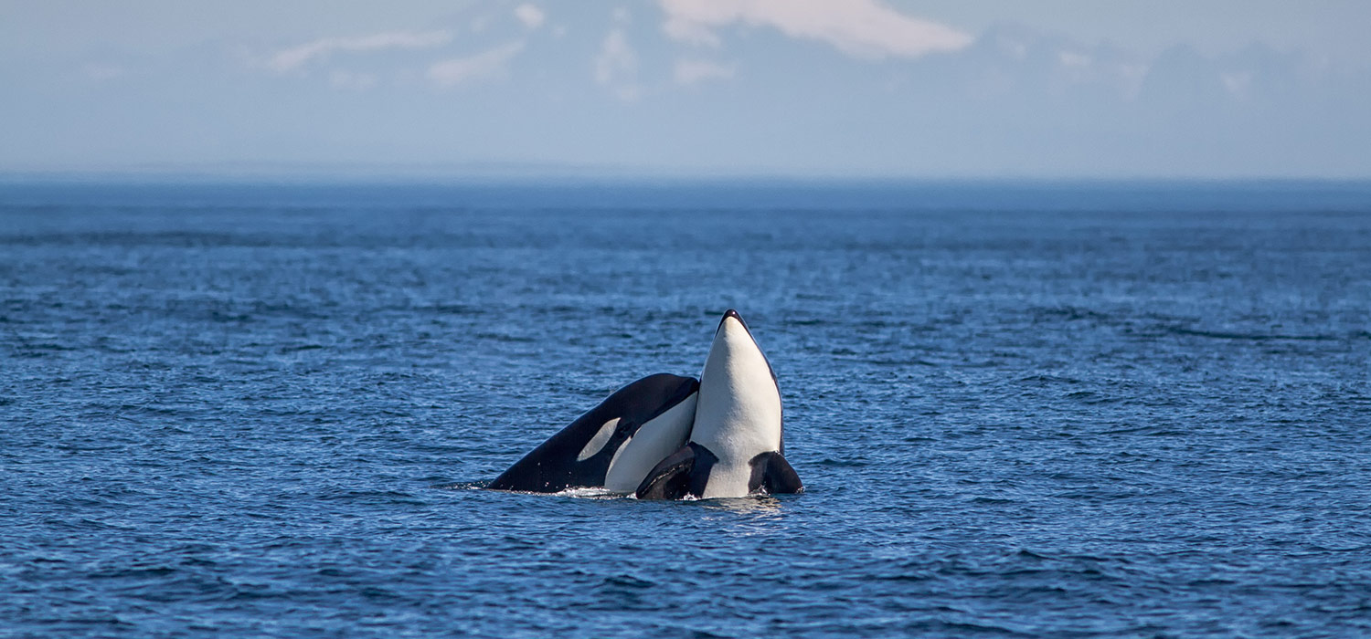 San Juan Island, Whale Watching Adventure!
