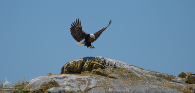 Bald Eagle landing in the San Juan Islands