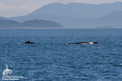 Humpback Whales in the San Juan Islands