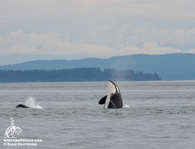 T65As Killer whale spyhop San juan island