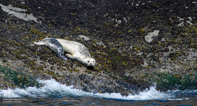 Harbor Seals in the San Juan Islands