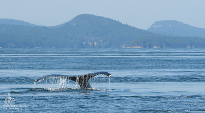 Humpback whale in the San Juan Islands.