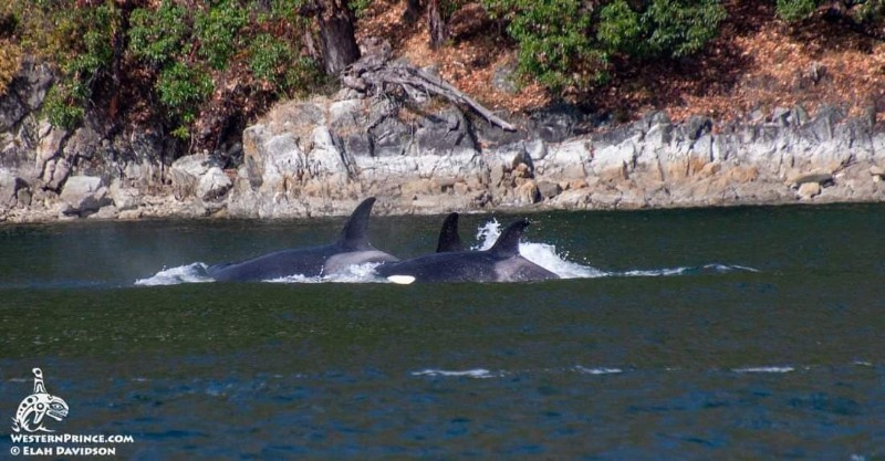 Killer whales in the San Juan Islands