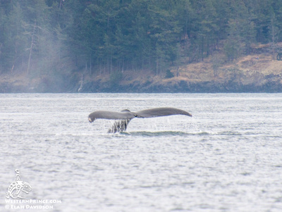 Humpback whale fluke in the Salish Sea