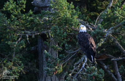 Bald Eagle in the San Juan Islands.