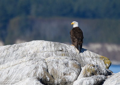 Bald Eagle in the Salish Sea