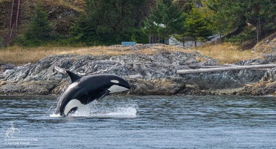 Bigg's Killer whale breach in the San Juan Islands